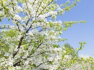 Pollenallergie - Baumblüte